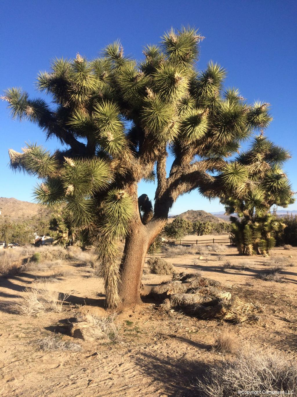 Yucca Not Drinking Water